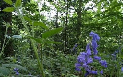 The Nettle and the Bluebell